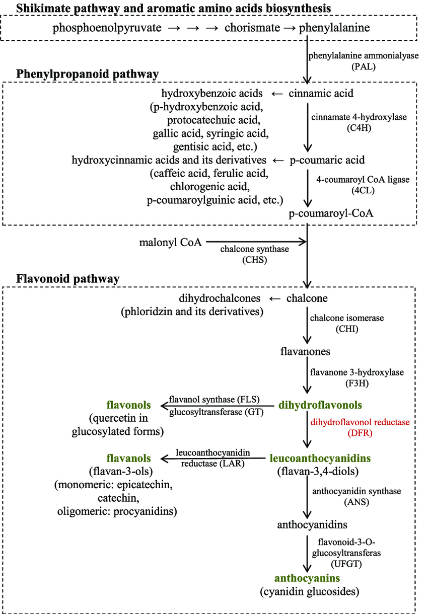 hight resolution of biosynthesis pathway of apple phenolic compounds