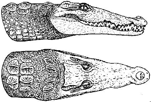 Head shape of the Nile crocodile (Wermuth and Fuchs, 1978