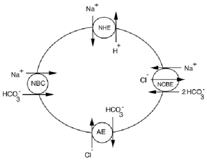 A schematic representation of acid-base transporters