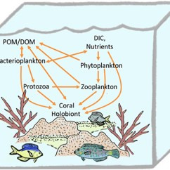 Coral Reef Food Chain Diagram Civic Obd2a Wiring Trophic Connections Of The Holobiont In Planktonic Web