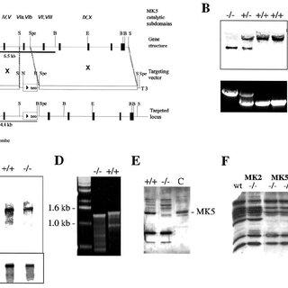 (PDF) Elimination of Protein Kinase MK5/PRAK Activity by