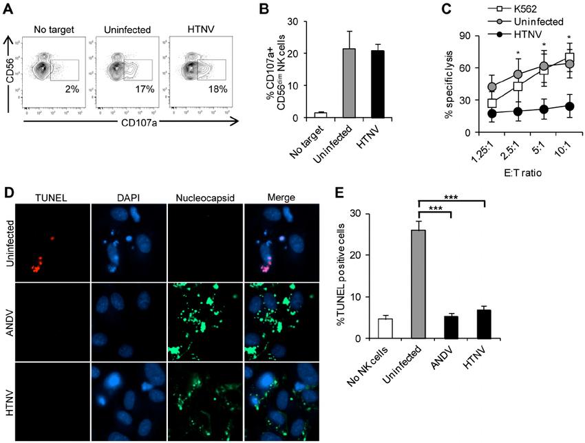 Hantaviruses inhibit NK cell-mediated killing of infected ...