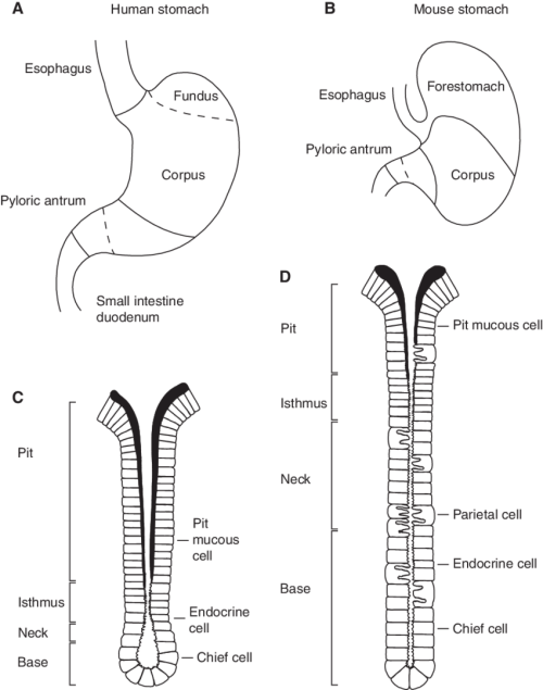 small resolution of anatomy of the human and mouse stomach a human stomach b
