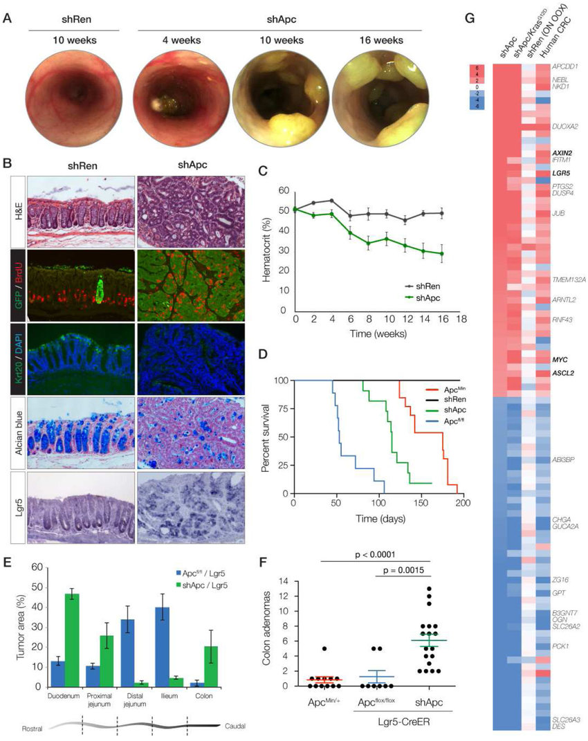 medium resolution of apc knockdown drives the development of colonic polyps a colon download scientific diagram