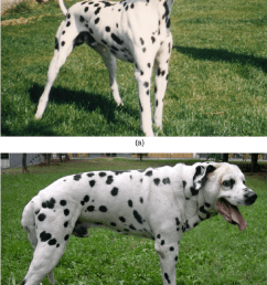 a male dalmatian dog at 5 years of age 1a and at 10 years of age when acromegaly had developed 1b notice the overall increase in body size  [ 850 x 1343 Pixel ]
