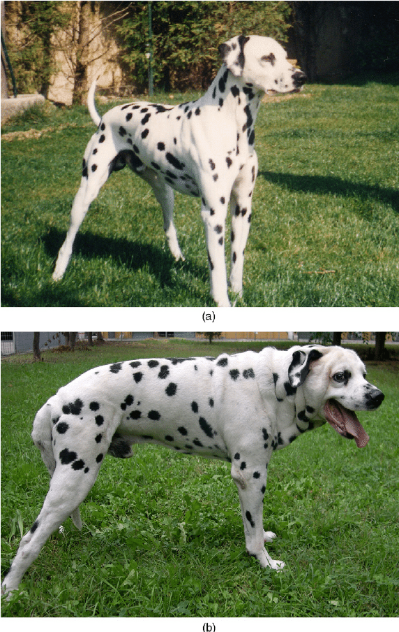 hight resolution of a male dalmatian dog at 5 years of age 1a and at 10 years of age when acromegaly had developed 1b notice the overall increase in body size