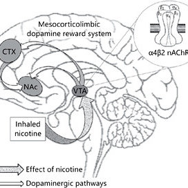 The dopamine reward system. Projections from the ventral