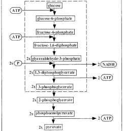 scheme of the glycolytic pathway the sequential conversion of glucose into pyruvate is shown in [ 850 x 987 Pixel ]