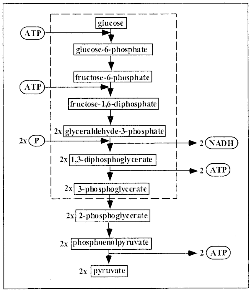 hight resolution of scheme of the glycolytic pathway the sequential conversion of glucose into pyruvate is shown in