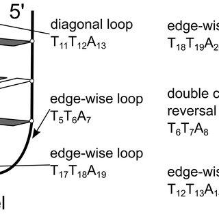 (PDF) Structural Dynamics of Human Telomeric G-Quadruplex