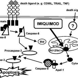 miquimod and Bcl- 2