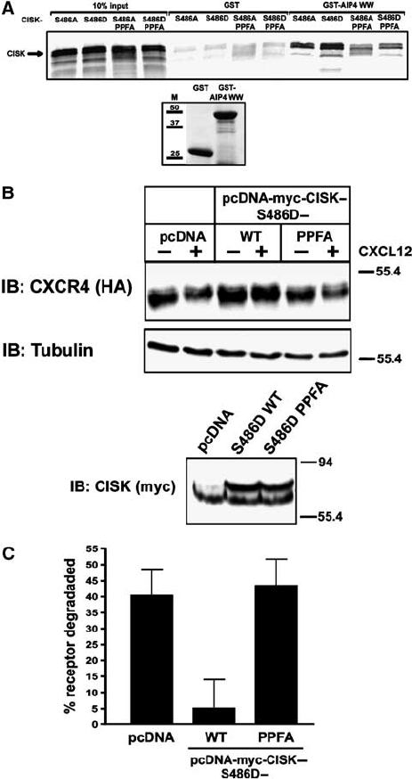 The PPFY-motif of CISK is required for inhibiting CXCR4
