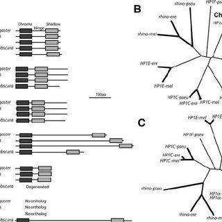 McDonald-Kreitman Test of rhino in D. melanogaster and D