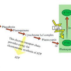 Photosynthesis Z Scheme Diagram Rover 75 Abs Wiring Of The Light Reaction From Download