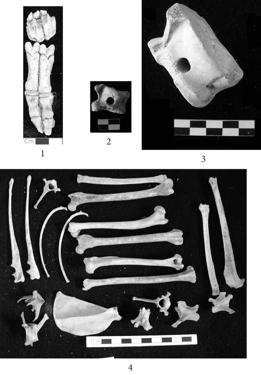 sheep skeleton diagram 2005 mitsubishi triton stereo wiring 11 fragments of animal bones 1 articulated distal limb no