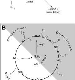 the degradation of urea and the nitrogen cycle a a simplification of the breakdown [ 850 x 1316 Pixel ]