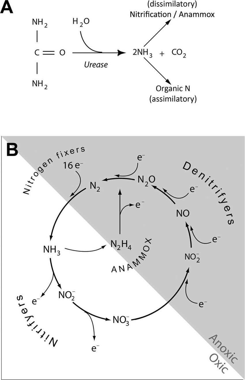 hight resolution of the degradation of urea and the nitrogen cycle a a simplification of the breakdown