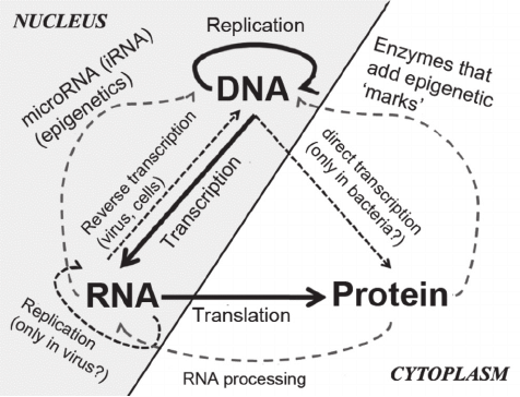 "Schematic representation of the ""central dogma of"
