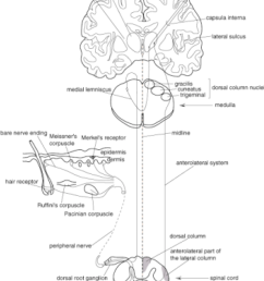 somatosensory pathways from the peripheral tissue to the primary sensory cortex information about proprioceptive  [ 850 x 1087 Pixel ]