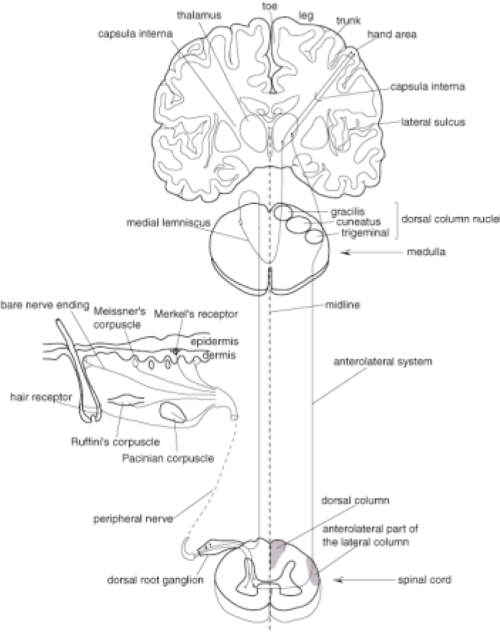 small resolution of somatosensory pathways from the peripheral tissue to the primary sensory cortex information about proprioceptive