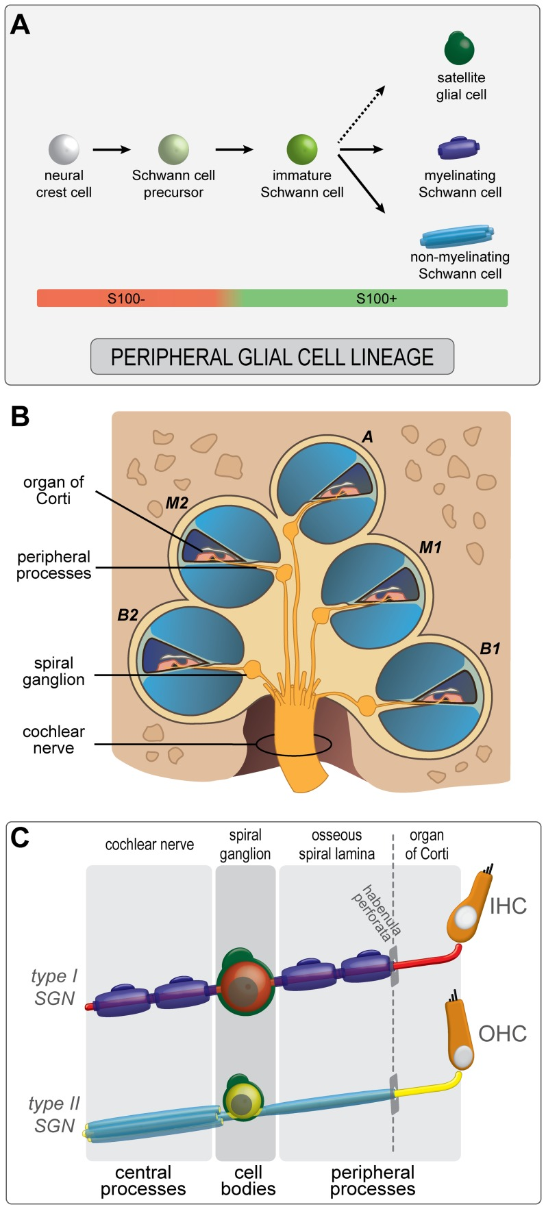 hight resolution of  a schematic model of pgc development in the human fetal cochlea neural crest