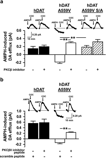 AMPH-induced DA efflux is impaired in hDAT A559V cells but