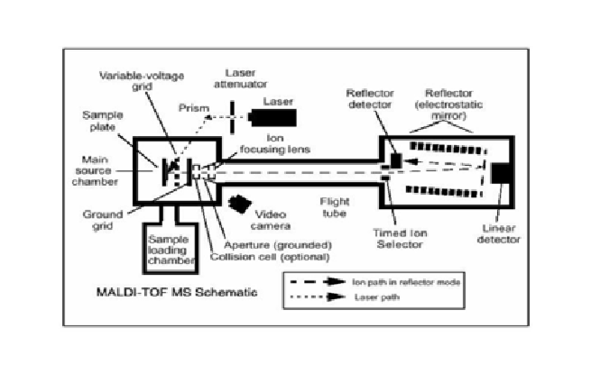 Schematic overview of the principles for MALDI-TOF MS