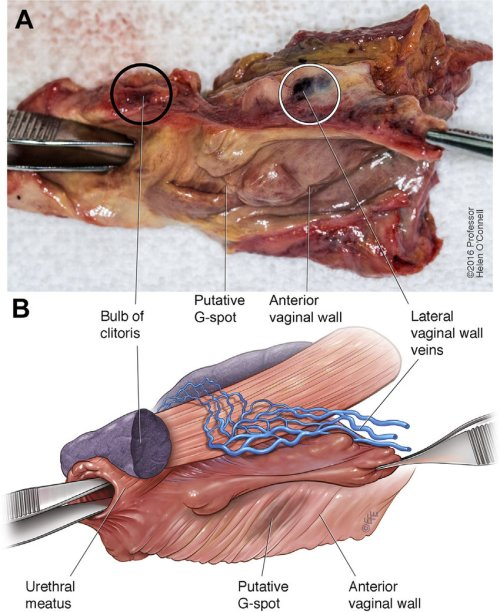 small resolution of panel a shows a photograph of the anterior vaginal wall and urethra to download scientific diagram