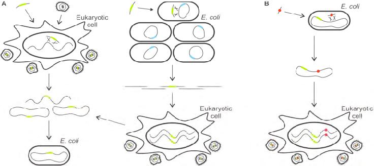 Generation and mutagenesis of herpesvirus BACs. A) Cloning