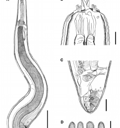 line drawings of spirura carajaensis n sp a anterior end showing the limits between the glandular and muscular esophagus nerve ring position  [ 850 x 1026 Pixel ]