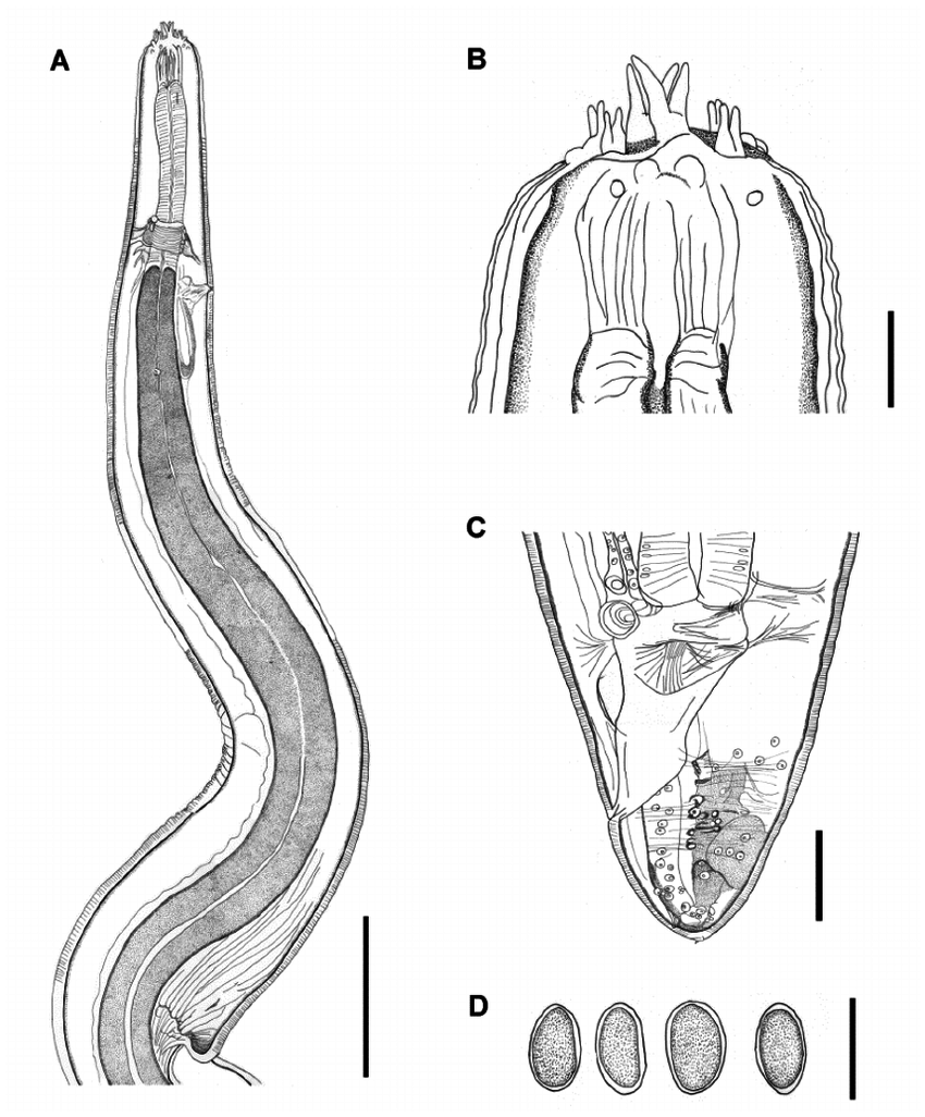 hight resolution of line drawings of spirura carajaensis n sp a anterior end showing the limits between the glandular and muscular esophagus nerve ring position