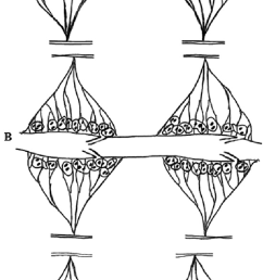 schematic drawings are depicting two typical abdominal intersegmental regions ir segments 2 7 [ 679 x 1557 Pixel ]