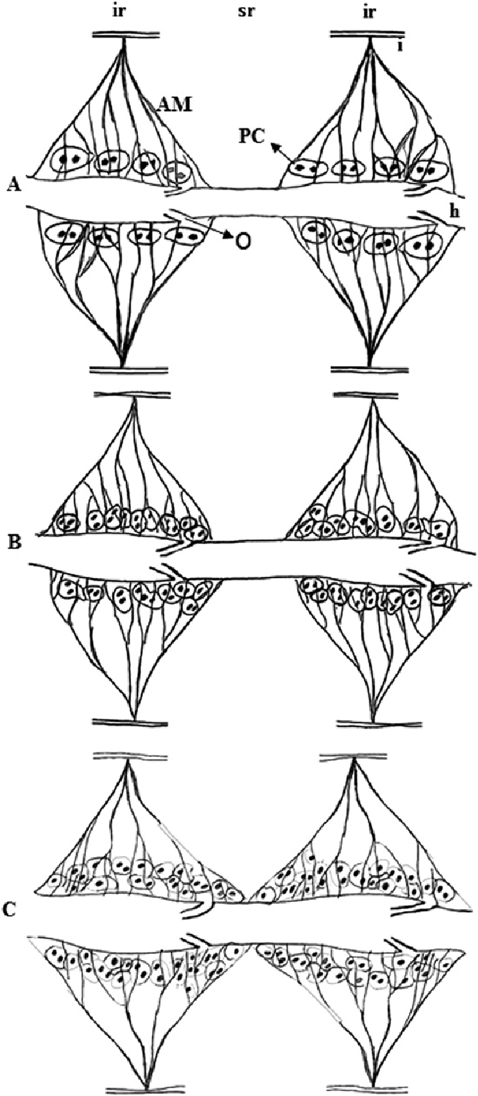 medium resolution of schematic drawings are depicting two typical abdominal intersegmental regions ir segments 2 7
