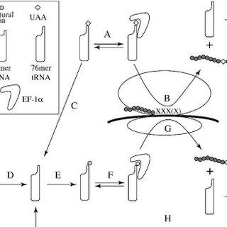 (PDF) Improved amber and opal suppressor tRNAs for