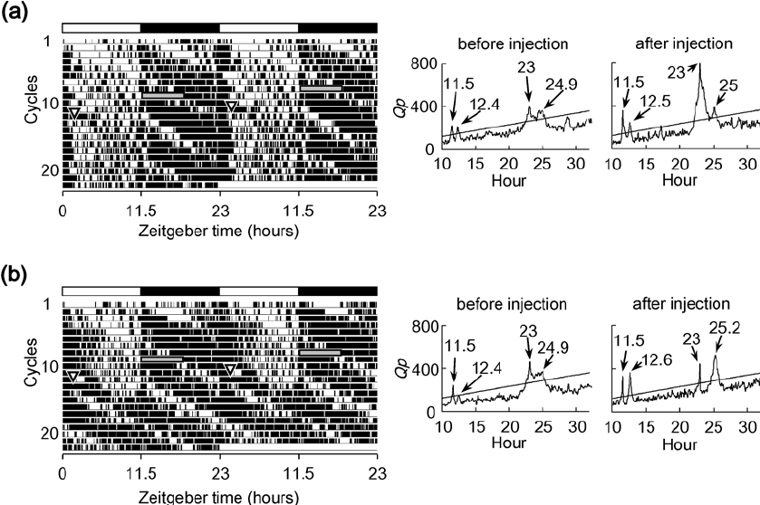 The locomotor activity rhythm presented by double-plotted