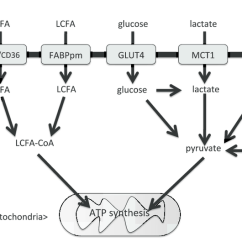 Simple Mitochondria Diagram Heidenhain Encoder Rod 431 Wiring Scheme Of Substrate Oxidative Metabolism Particularly Considering And Transporters In Skeletal Muscle