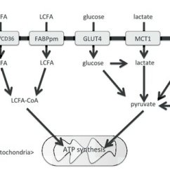 Simple Mitochondria Diagram Lowrider Hydraulic Wiring Scheme Of Substrate Oxidative Metabolism Particularly Considering And Transporters In Skeletal Muscle