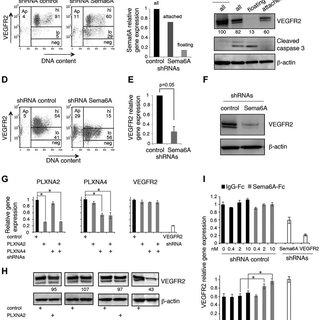 (PDF) Semaphorin 6A regulates angiogenesis by modulating