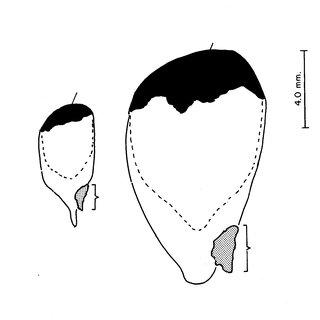(PDF) Anatomía de la semilla de Cupania dentata
