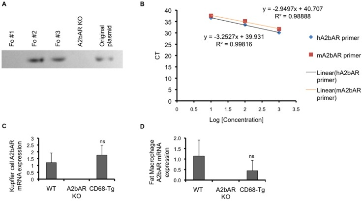 Generation of transgenic mice expressing A2bAR in
