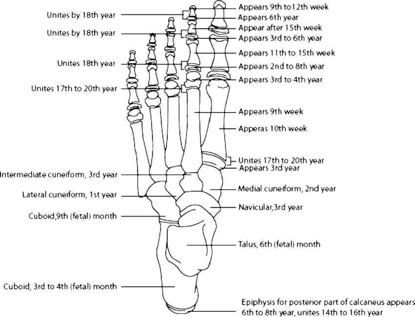 bones in your foot diagram troy bilt bronco wiring ossification of the adapted from 20