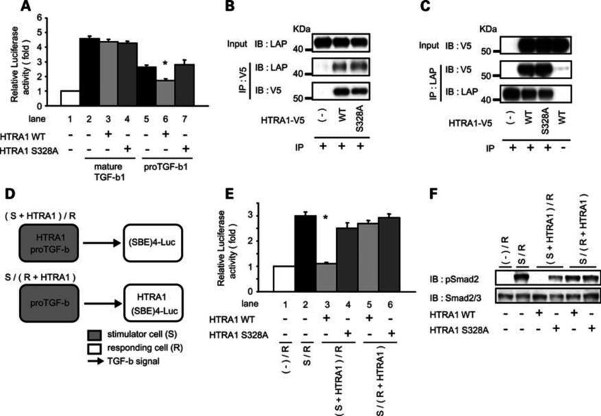 HTRA1 decreases TGFb-1 signaling via interaction with