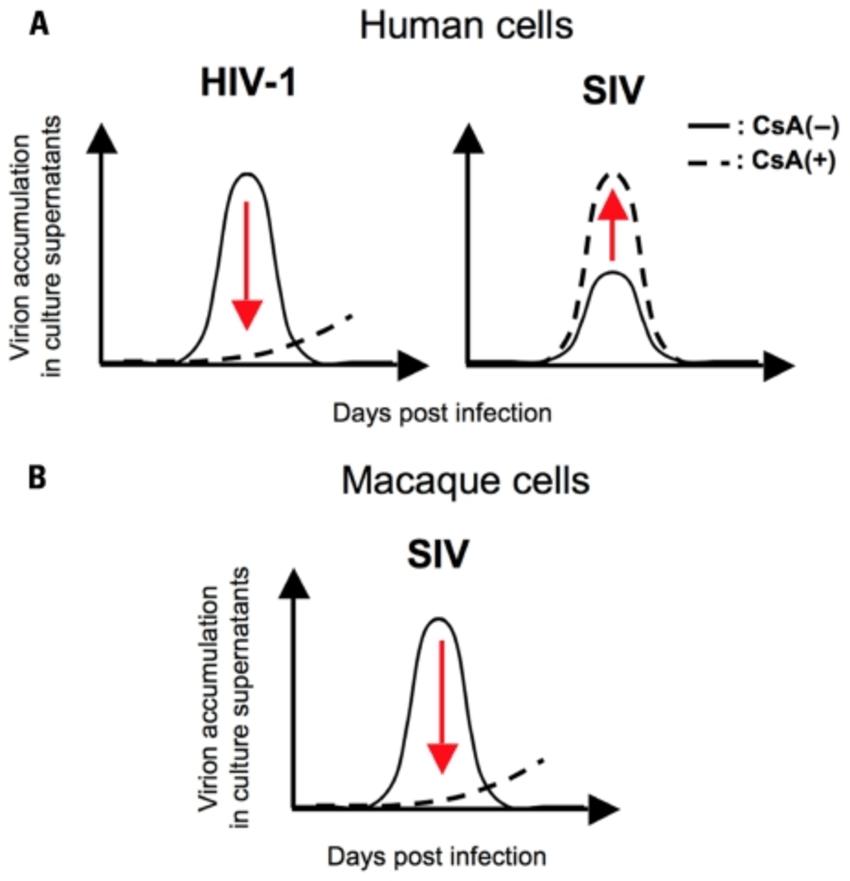 hiv replication diagram