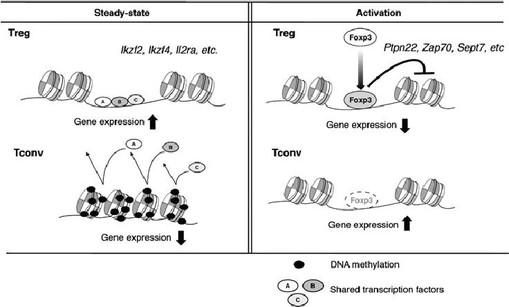 Models of Treg-specific gene regulation by chromatin