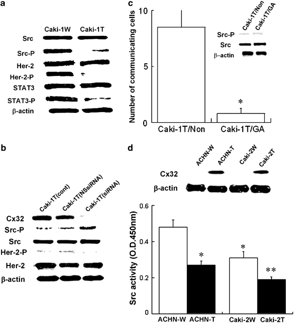 Cx32 suppresses the activation of Src, and its related