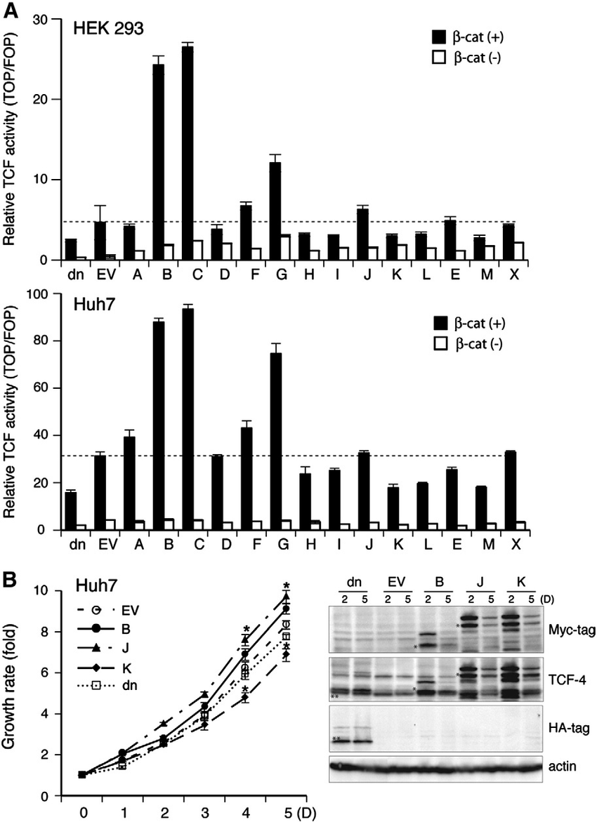 Effects of TCF-4 isoforms on TCF transcriptional activity