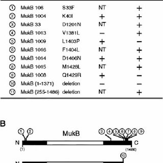 (PDF) Complex formation of MukB, MukE and MukF proteins