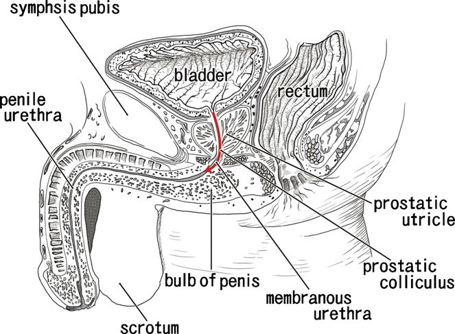 Wiring And Diagram: Diagram Of Urethra Male