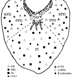 schematic diagram of a transverse section of the pituitary gland in mature chum salmon showing the [ 850 x 1001 Pixel ]