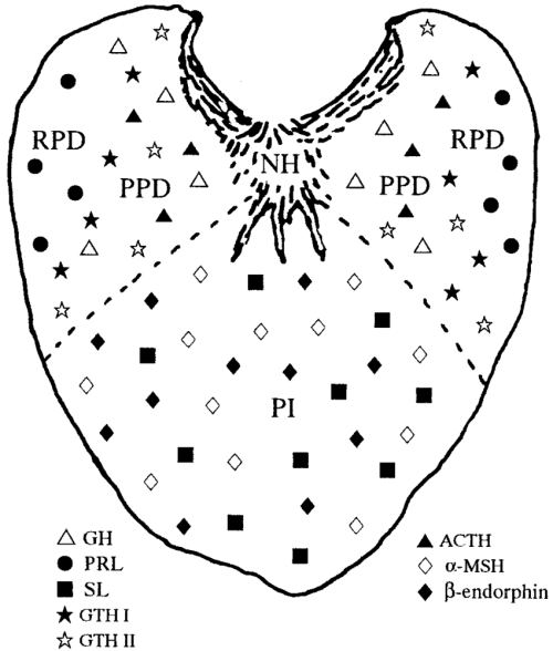 small resolution of schematic diagram of a transverse section of the pituitary gland in mature chum salmon showing the